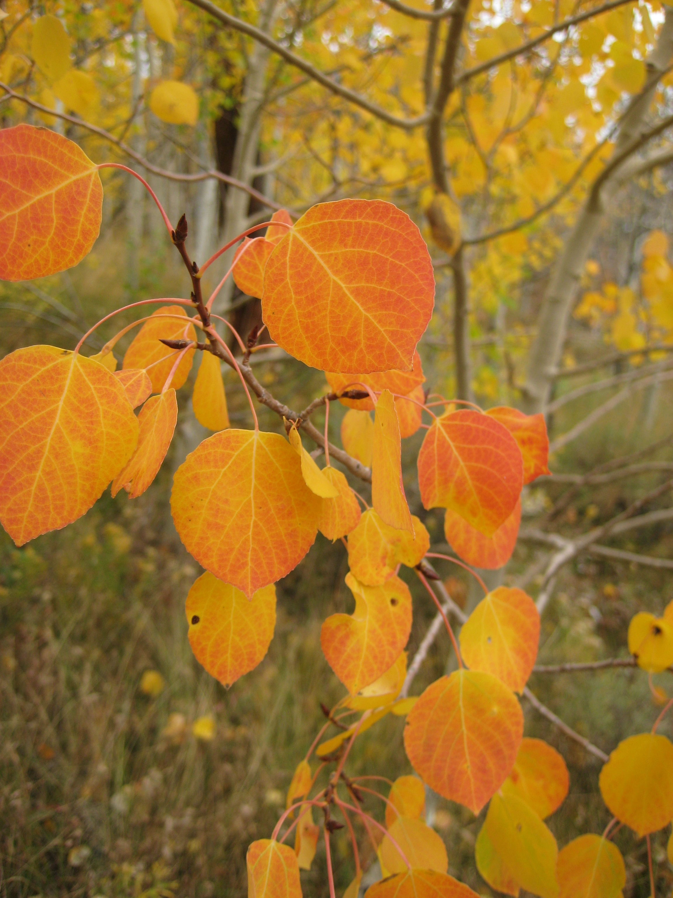 Aspens – Colorado Red,Gold and Yellow Explained