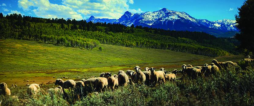 Voormi Sheep