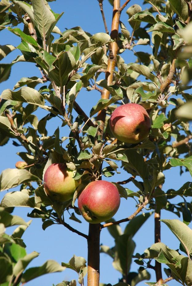FEATURE - Ela Apples